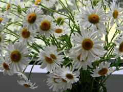 ромашка, букет, цветы
