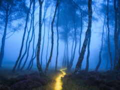 fore, лес, туман