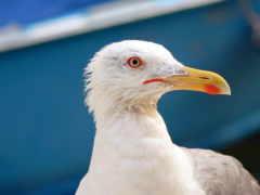 птицы, чайки, seagull