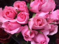 роза, розовый, oir