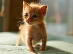 small, red, котенок