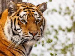 тигр, тигров, морда