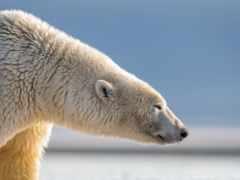 медведь, polar, profile