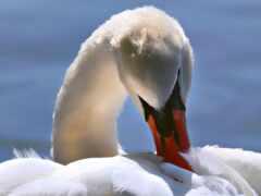 лебедь, птица
