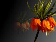 цветы, gullar, imperial
