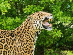cats, animals, ягуары