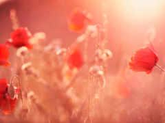 poppy, цветы, sun