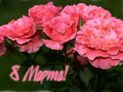 красивый, цветы, роза