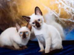 кот, сиамский