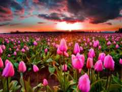 тюльпаны, cvety, всех