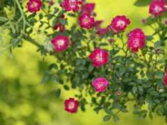garden, роза, картинка