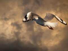 seagull, mac, flug