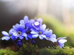 цветы, purple