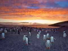 пингвин, charles, bergman