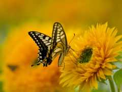 бабочка, природа, махаон