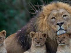 lion, left, котенок