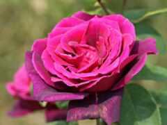 цветы, роза