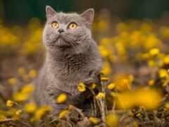 цветок, кошка, британский