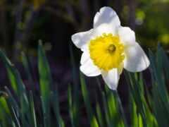 daffodil, цветы, cool