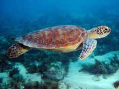 черепаха, морская, degree