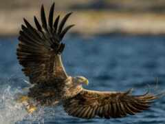 птица, орлан, funart