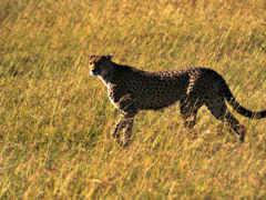 гепард, быстрый