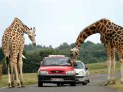 жирафы, жирафа, природе