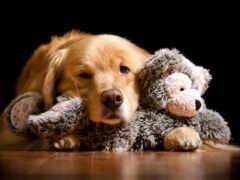 игрушка, собака, ретривер