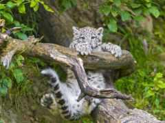 леопард, снег, барса