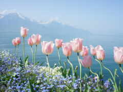 горы, cvety, тюльпаны