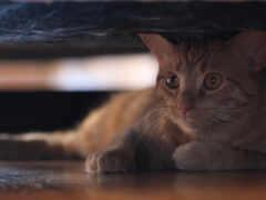 animal, arabian, кот