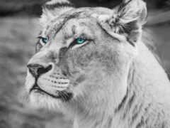 wild, львица, ipad