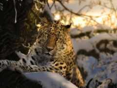 zima, леопард, животное