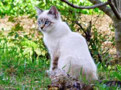 cats, смотреть, сиамский