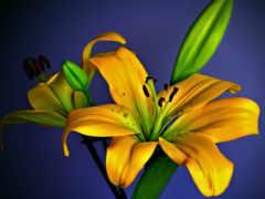 cvety, открытки, лилиями