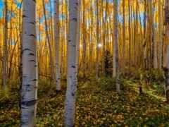 grove, березовая, осень