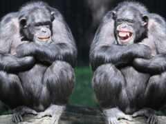обезьяна, шимпанзе, два