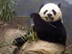 панда, панды, кушает