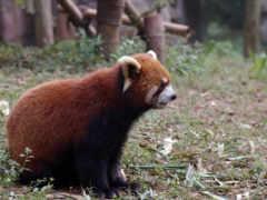 панда, vermelho, панды