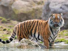 тигр, amur, кот