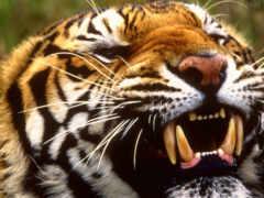 ухмылка, тигр, оскал