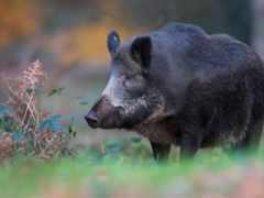 лес, свинья, кабан