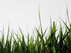 s-omiana, grassland, która