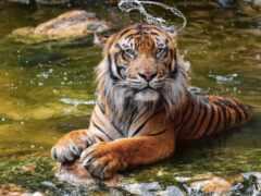 тигр, oir, funart