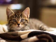 gatito, лежит, por