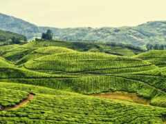 чая, indii, международный