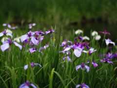 цветы, iris, трава