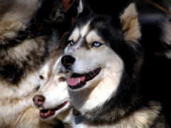 хаски, собака, siberian