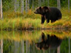 медведь, браун, трава