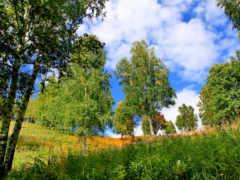 березы, трава, деревья